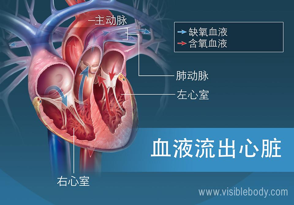 左心室和右心室将血液泵出心脏
