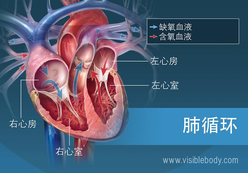 含氧和脱氧血液通过心脏心房的循环