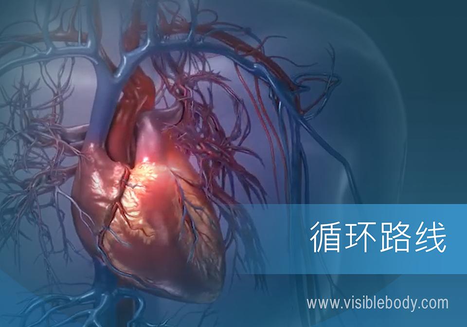 肺循环和体循环中的心脏