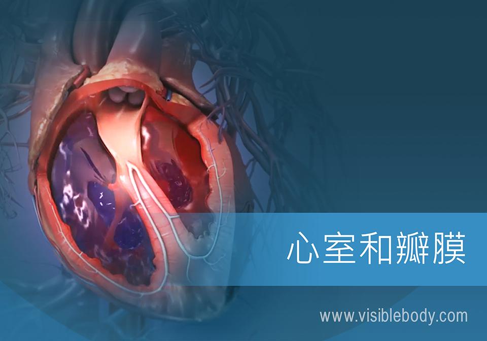 血液流过心脏的腔室和瓣膜