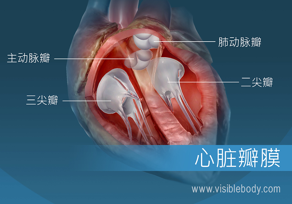 人类心脏的4个瓣膜