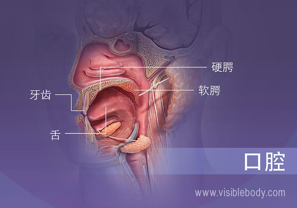 显示牙齿、舌头和软硬颚的口腔剖面图