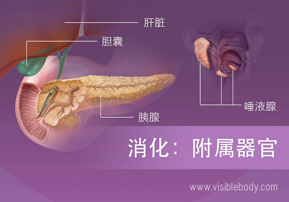 消化附属器官包括肝脏、胆囊、胰腺和唾液腺