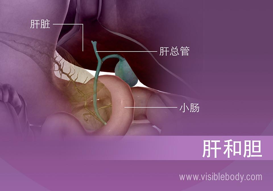 胆囊的胆汁分泌