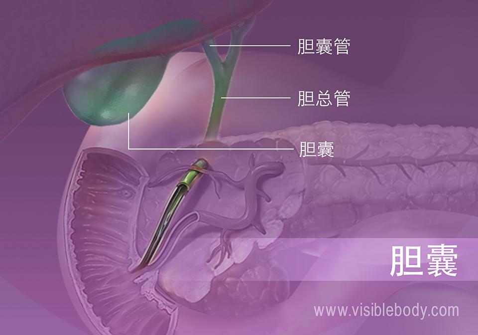 图5B-胆囊