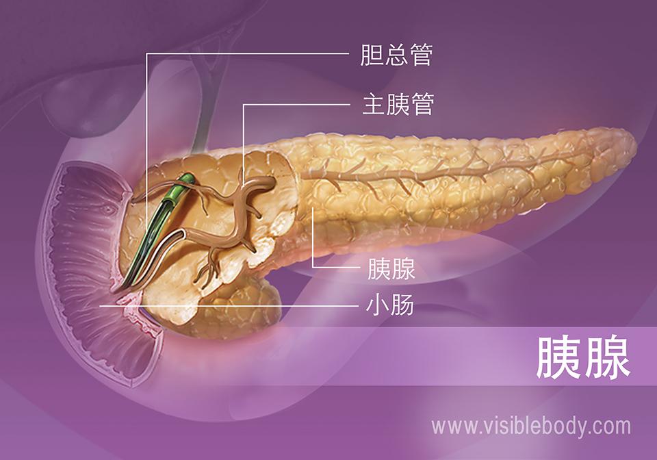 胰腺横截面中的主胰管