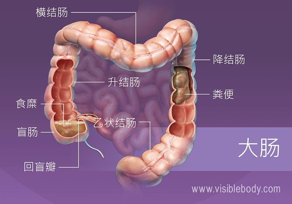食物和水正在通过大肠