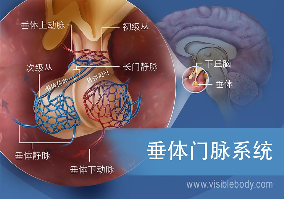 垂体中垂体门脉系统示意图,包括垂体静脉和垂体上下动脉