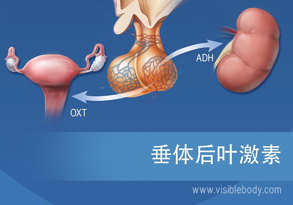 垂体和垂体后叶激素示意图