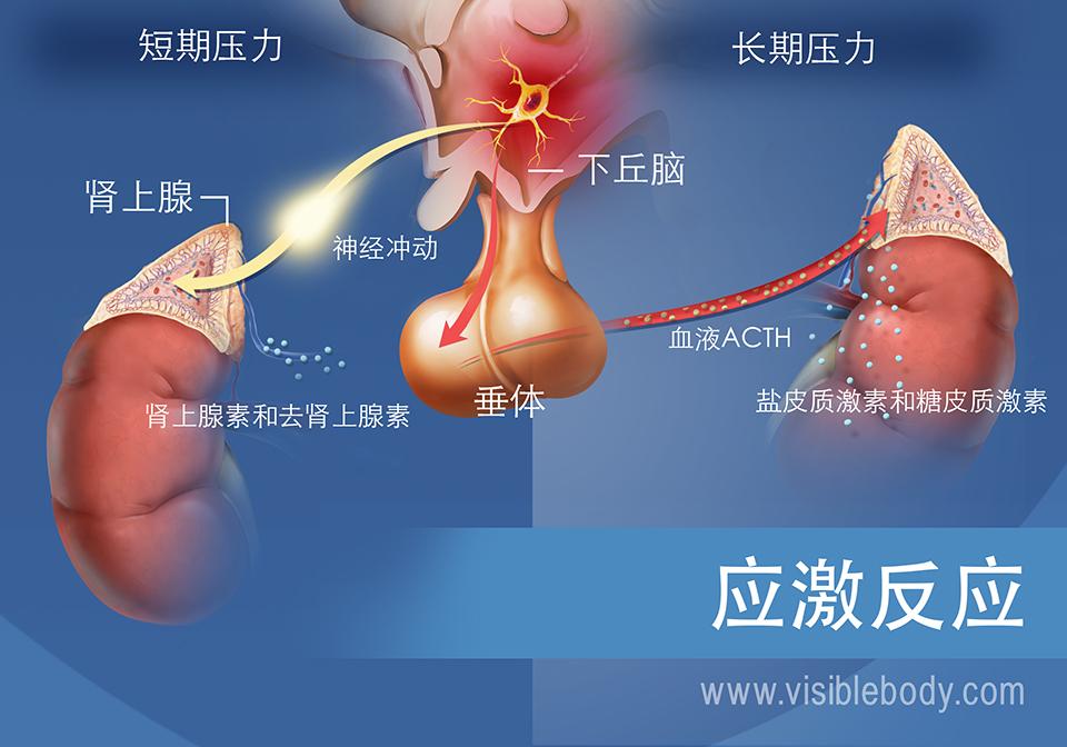 涉及短期和长期应激反应的激素图示,展示了下丘脑、垂体和肾上腺