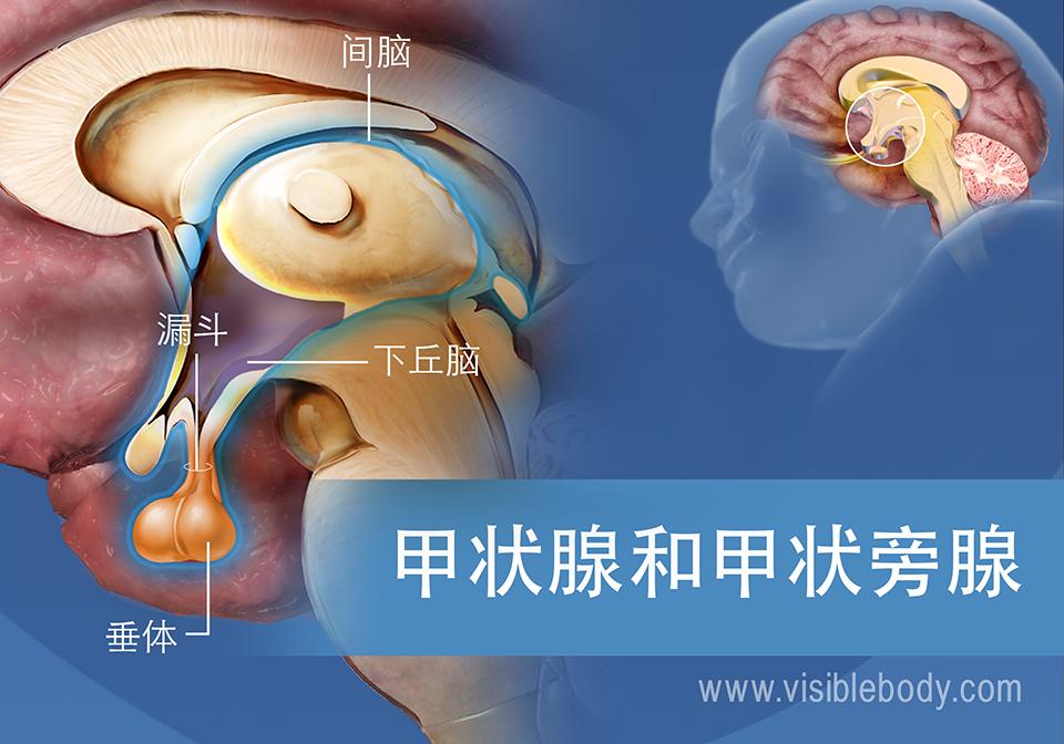 下丘脑和垂体示意图,包含漏斗和间脑