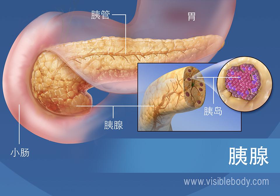 胰腺示意图,显示胰管、胰岛、胃和小肠