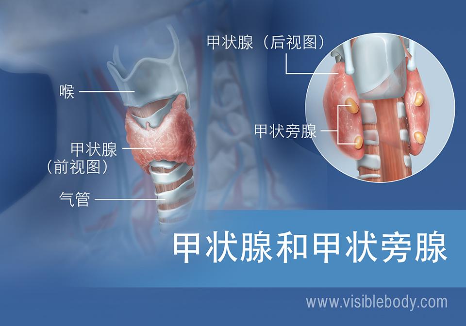 甲状腺和甲状旁腺前视图和后视图,含喉和气管