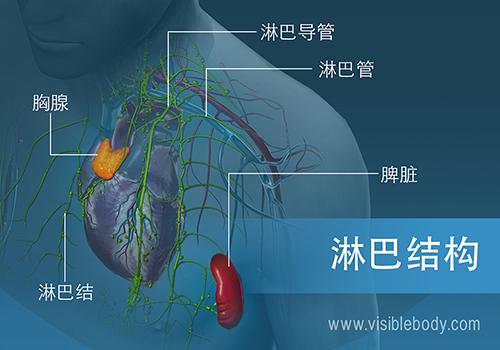 02B-淋巴结构