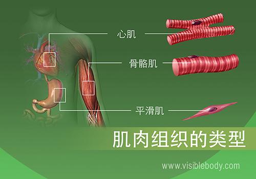 人体内的心肌、骨骼肌和平滑肌