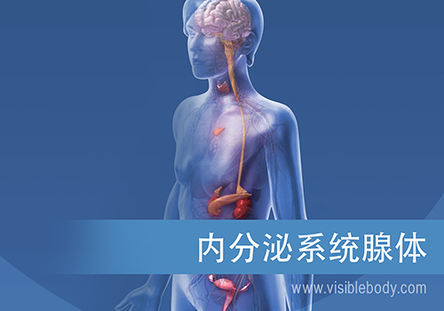 内分泌腺及其发挥作用的方式