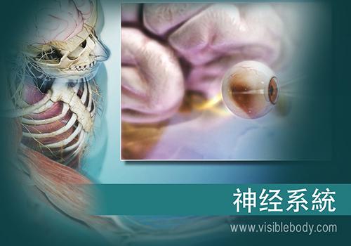 脑和脊髓构成中枢神经系统(CNS)。颅神经、脊神经和感觉器官构成周围神经系统(PNS)。