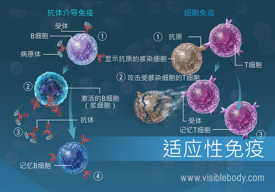 性 免疫 細胞 細胞性免疫とは