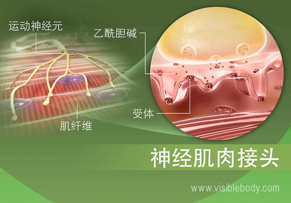 肌肉神经支配过程