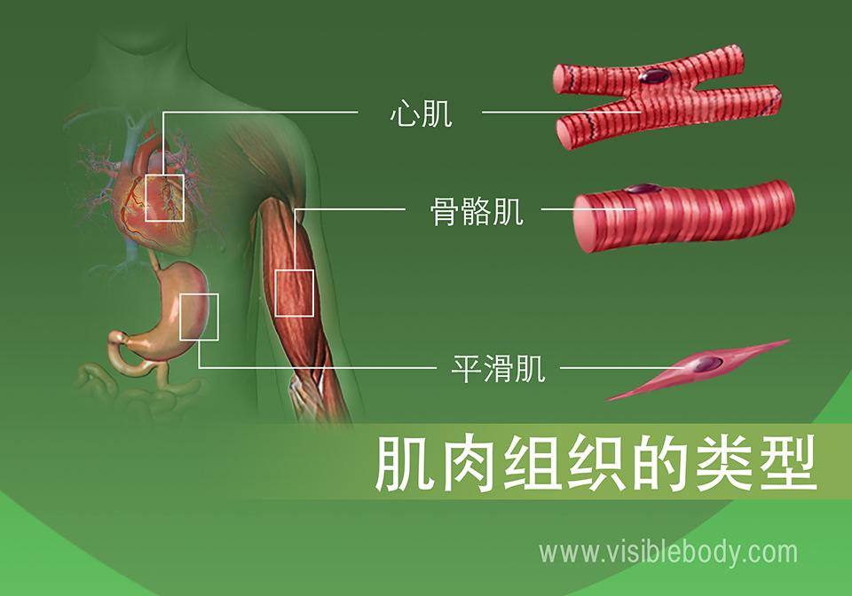人体中的心肌、骨骼肌和平滑肌