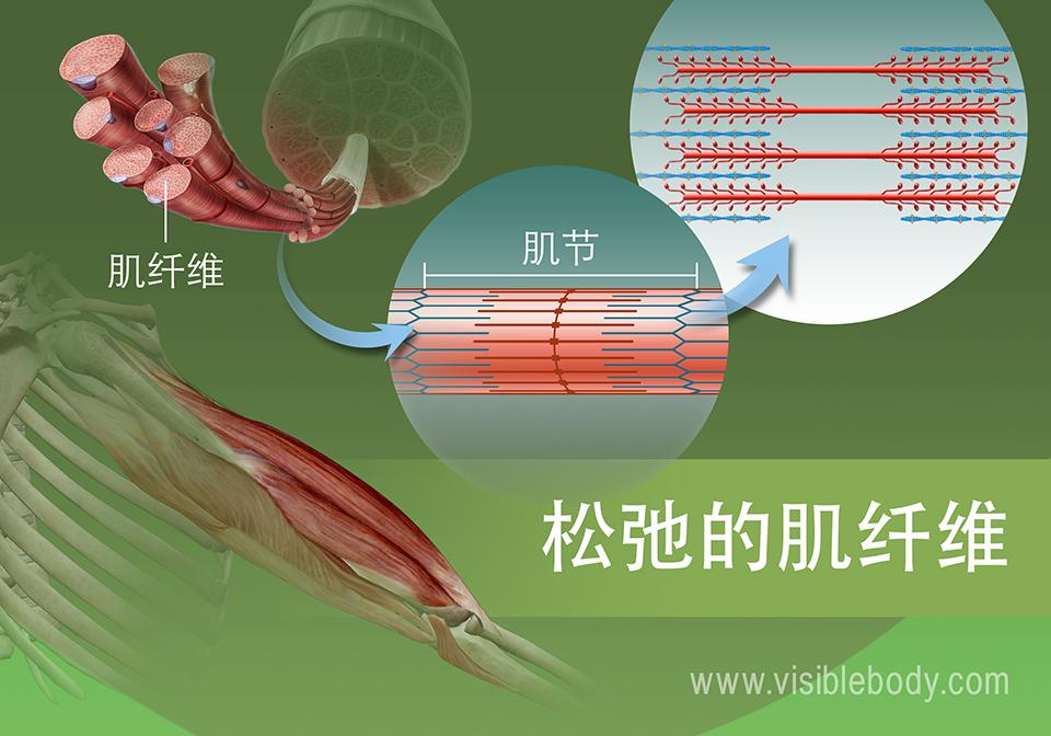 肌动蛋白和肌球蛋白丝的松弛状态