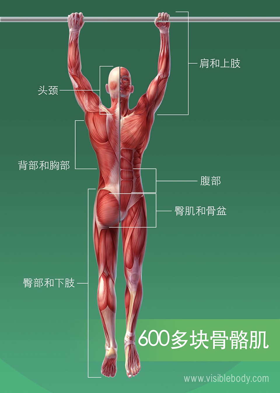 人体肌肉/600块以上的骨骼肌