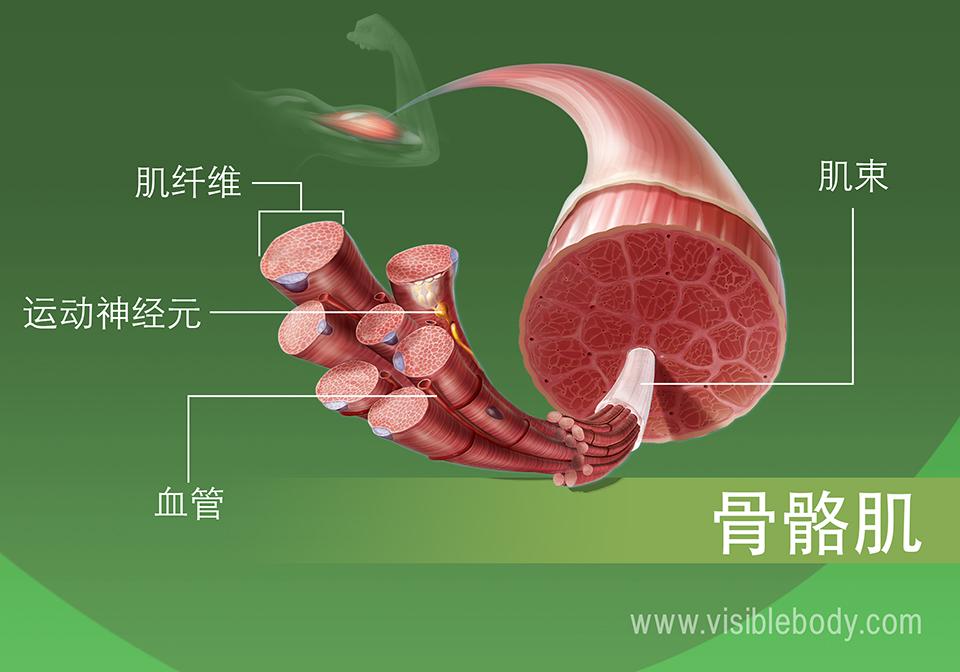 放大的骨骼肌组织视图