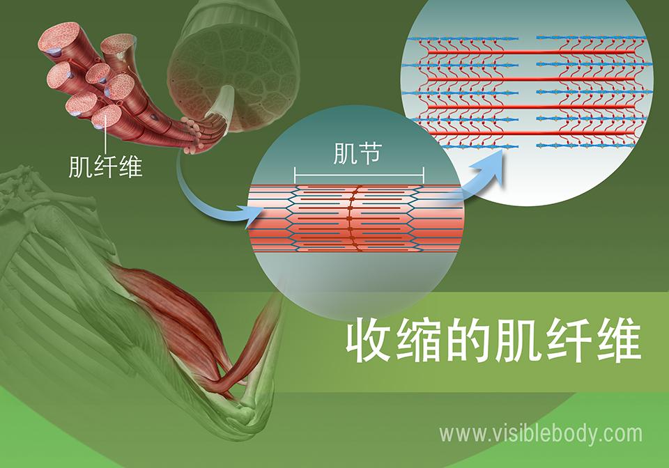 肌节的收缩状态