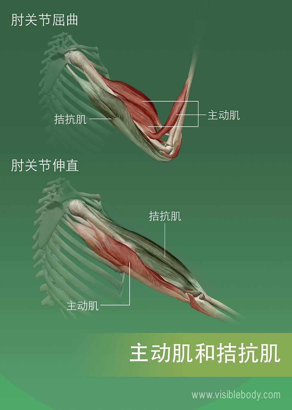 激动肌、拮抗肌和协同肌