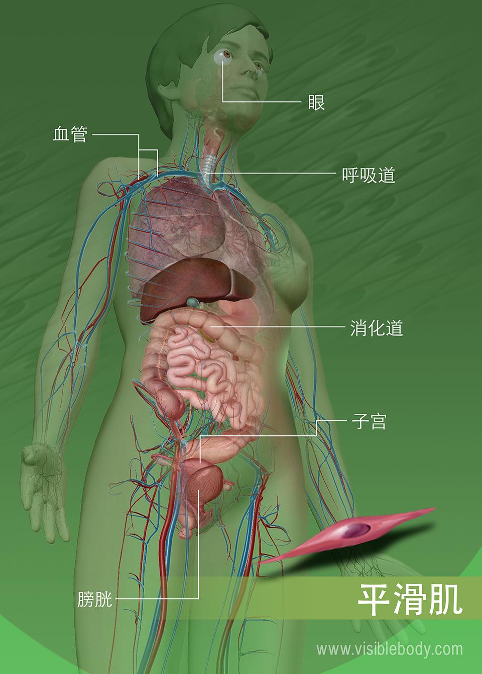 遍布身体的平滑肌组织