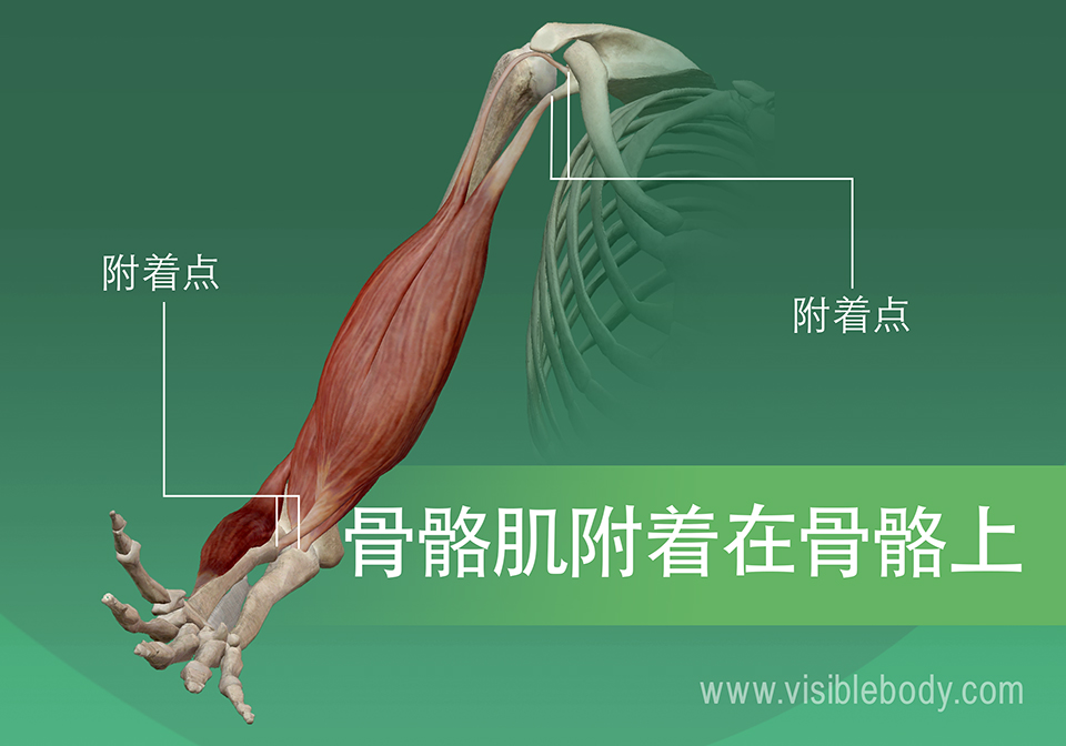 5B-骨骼肌附着在骨骼上