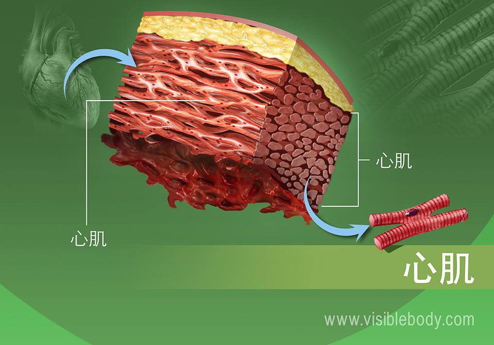 放大的人体心肌组织
