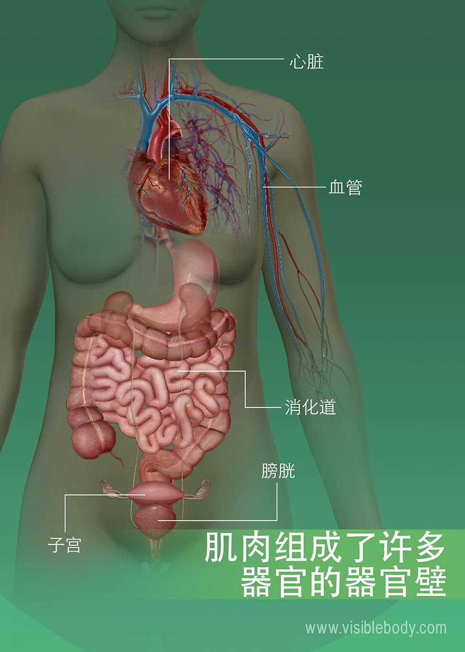 6C-肌肉组成了许多器官的器官壁