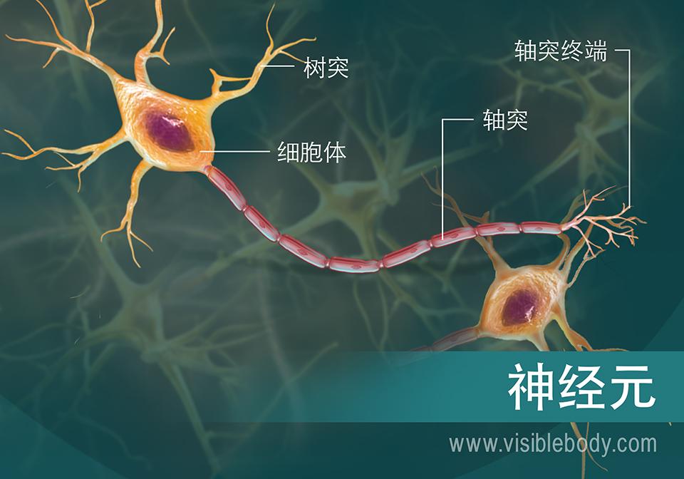 神经元及其组成的示意图