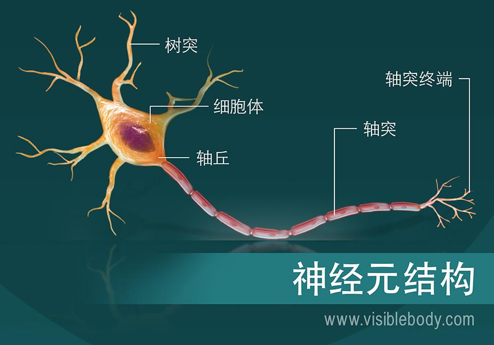 神经元结构示意图