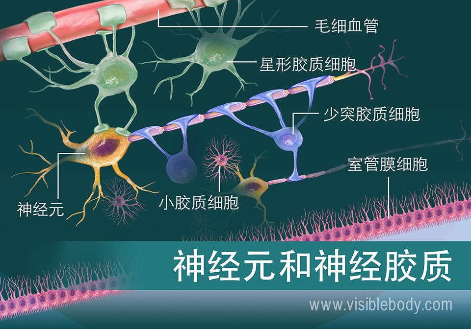 神经元和某些类型神经胶质的示意图