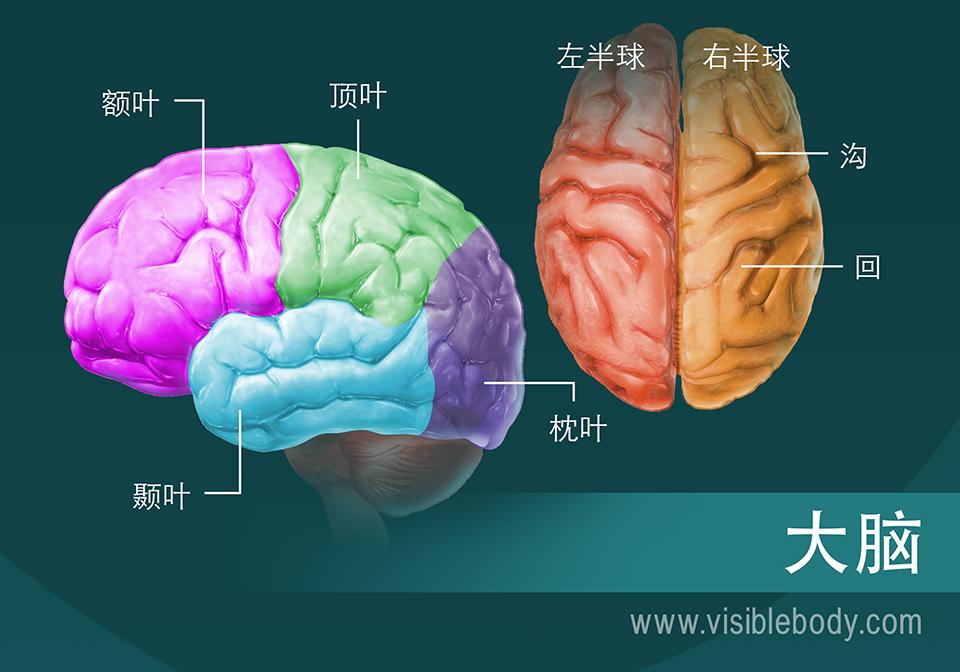 大脑分区示意图