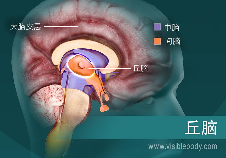 丘脑及其在脑中的位置