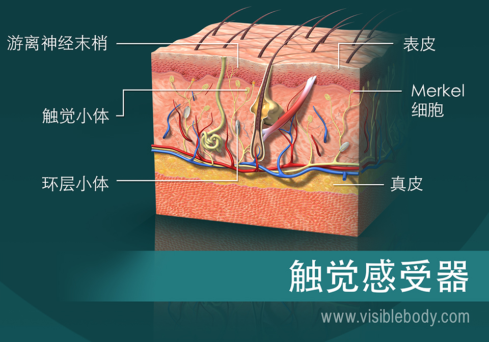 显示出触觉感受器的皮肤截面图