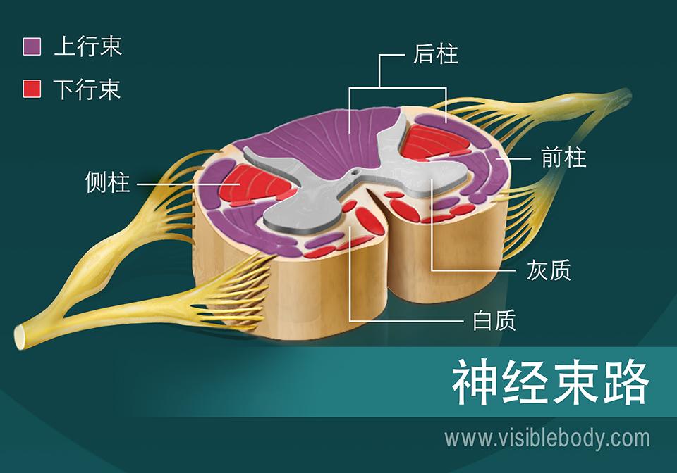 脊髓中神经束的示意图