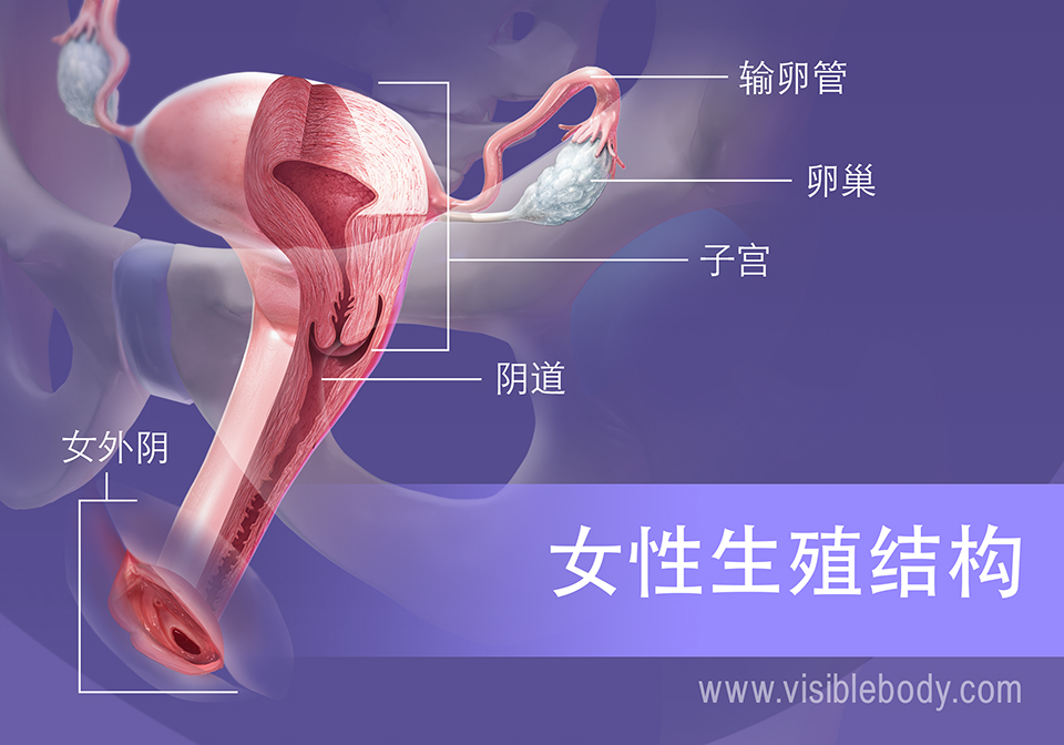 女性生殖结构概述