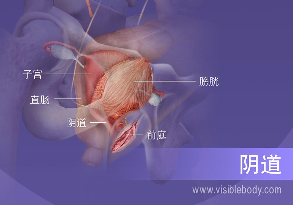 女性生殖系统和膀胱的内截面