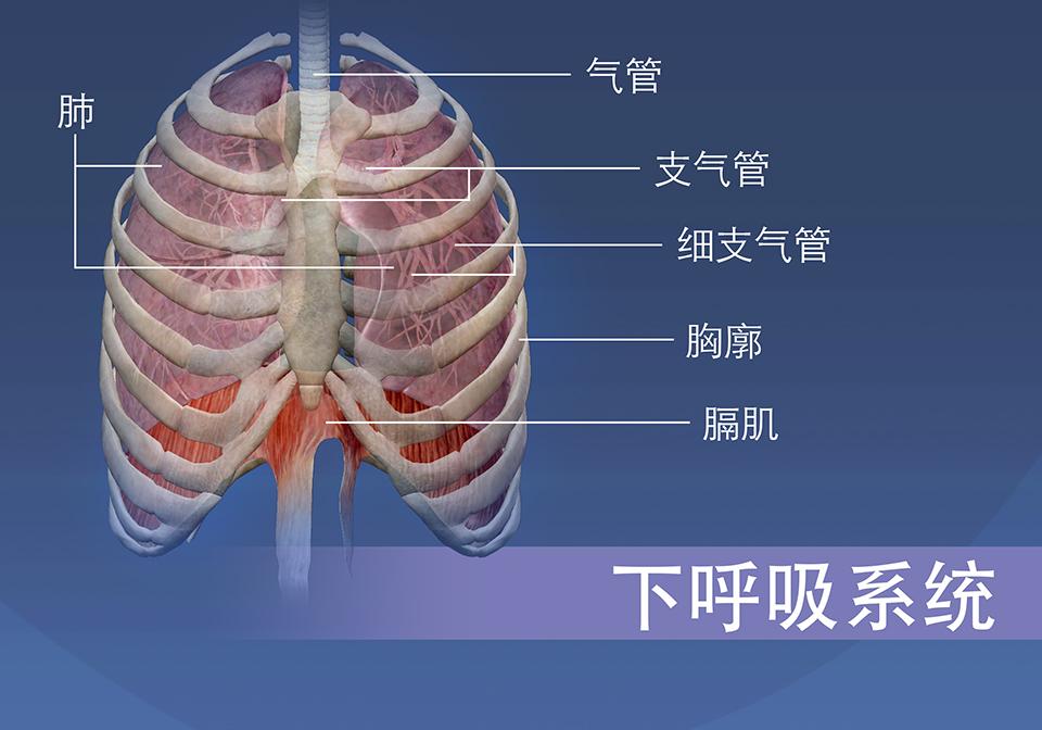 下呼吸系统的结构由气管、支气管、细支气管、胸廓、肺和膈肌组成