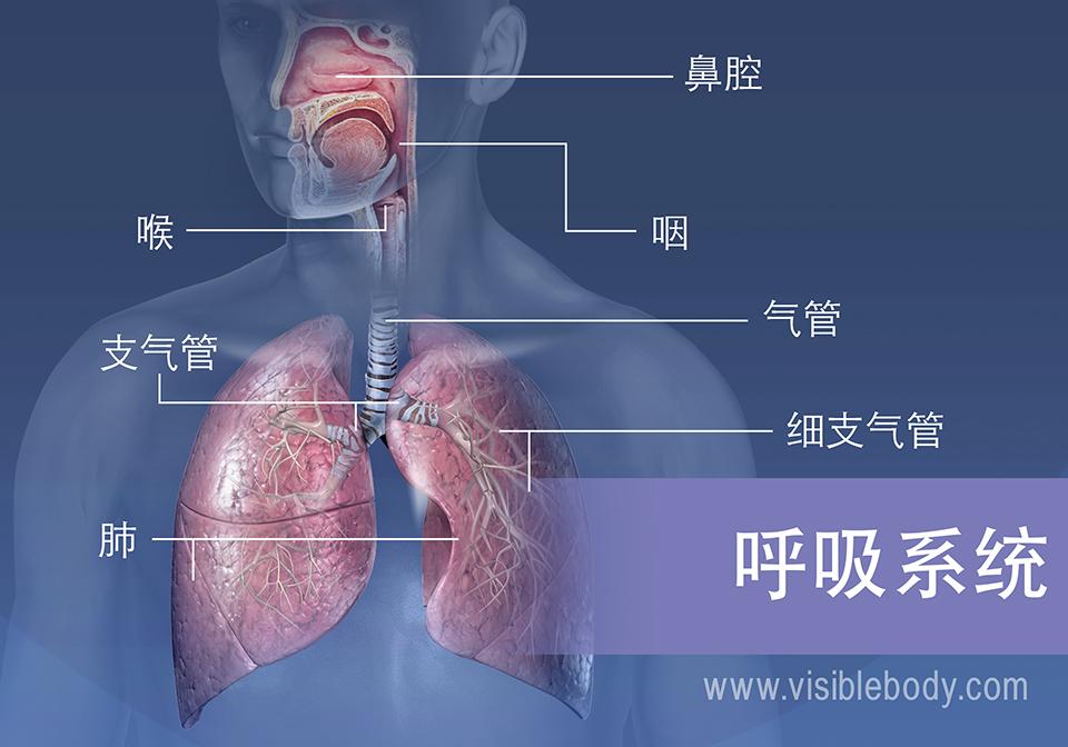 呼吸系统的主要结构包括鼻腔、咽、喉、气管、支气管、肺和细支气管