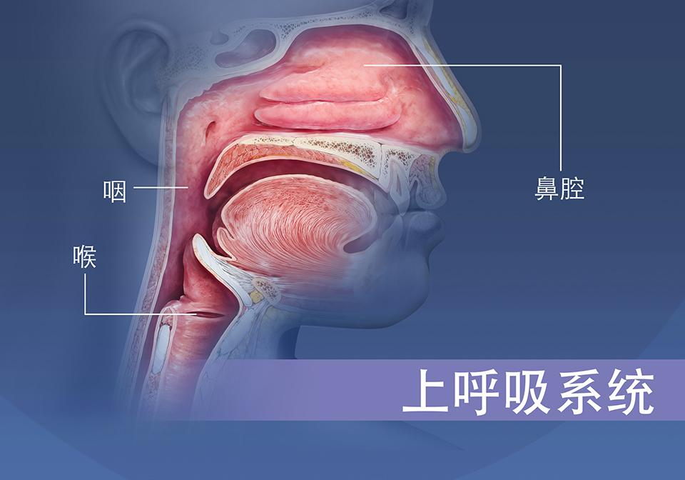 上呼吸系统概述,鼻腔和喉咙