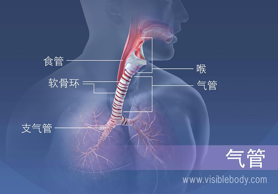 气管区域的结构包括食管、喉、软骨环和支气管