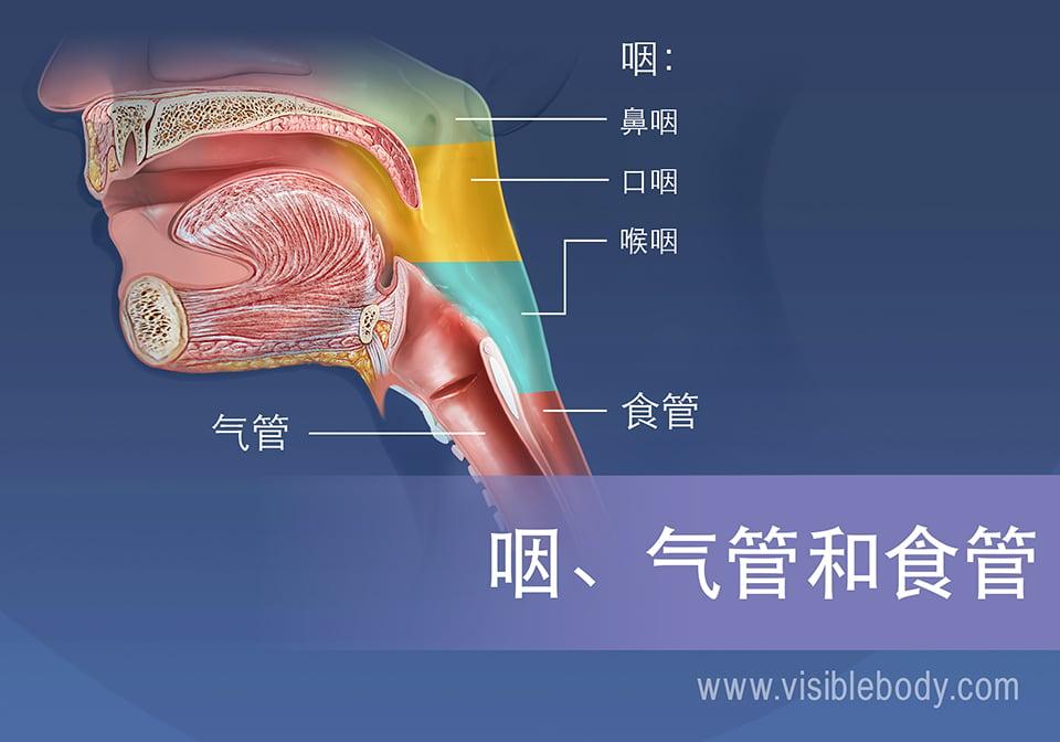 咽部区域可以分为鼻咽、口咽和喉咽