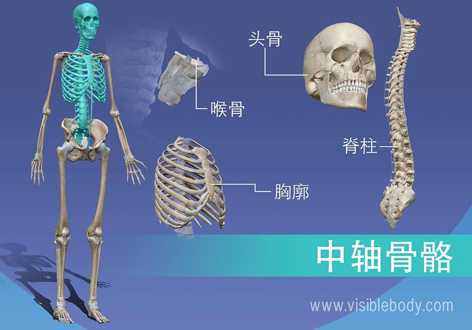 中轴骨骼由脊椎、胸部、头骨和喉部的骨骼组成