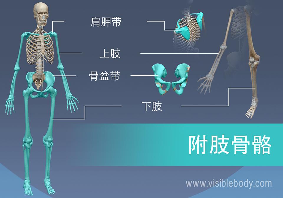 附肢骨骼由肩关节和骨盆以及臂和腿组成