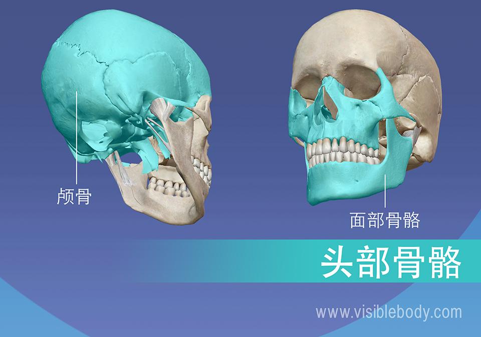 颅骨和面部骨骼